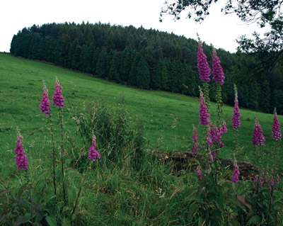 Foxgloves on Limestone Way in pasture leading towards Youlgrave